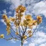 Acer pseudoplatanus ´Brilliantissimum´ - růžově rašící listy