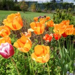 Krásní tulipáni